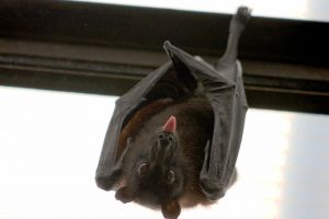 Как избавиться от летучих мышей под крышей?